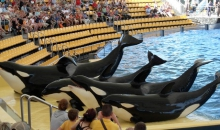 orcas_at_loro_parque_08